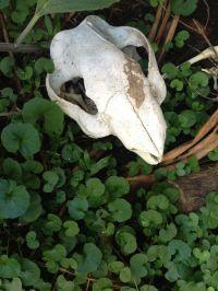 Kangaroo skull and native violets