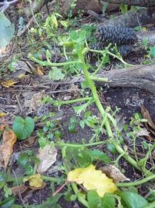 Chewed warrigal greens