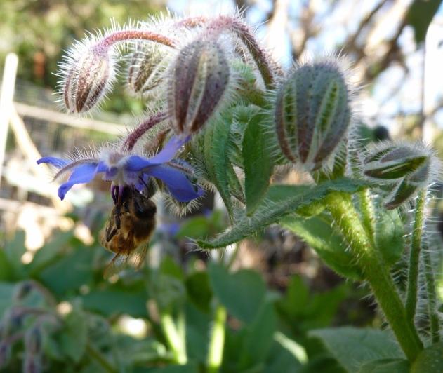 Borage bee flower