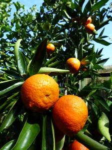 Freemont mandarins