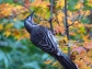 Red wattlebird in our Japanese maple