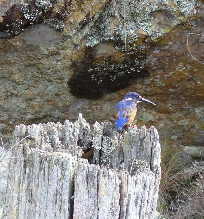 Kingfisher on stump 2 instagram square.jpg