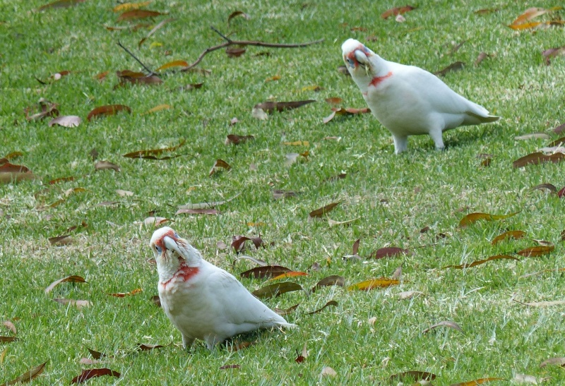 Long beaked corellas giving me a funny look long.jpg