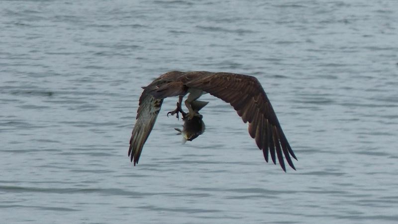 Osprey wings bent crop wide