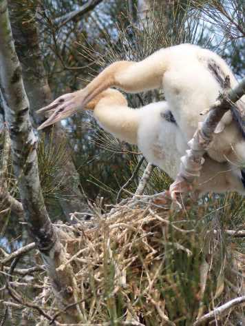 Juvenile darters near the nest