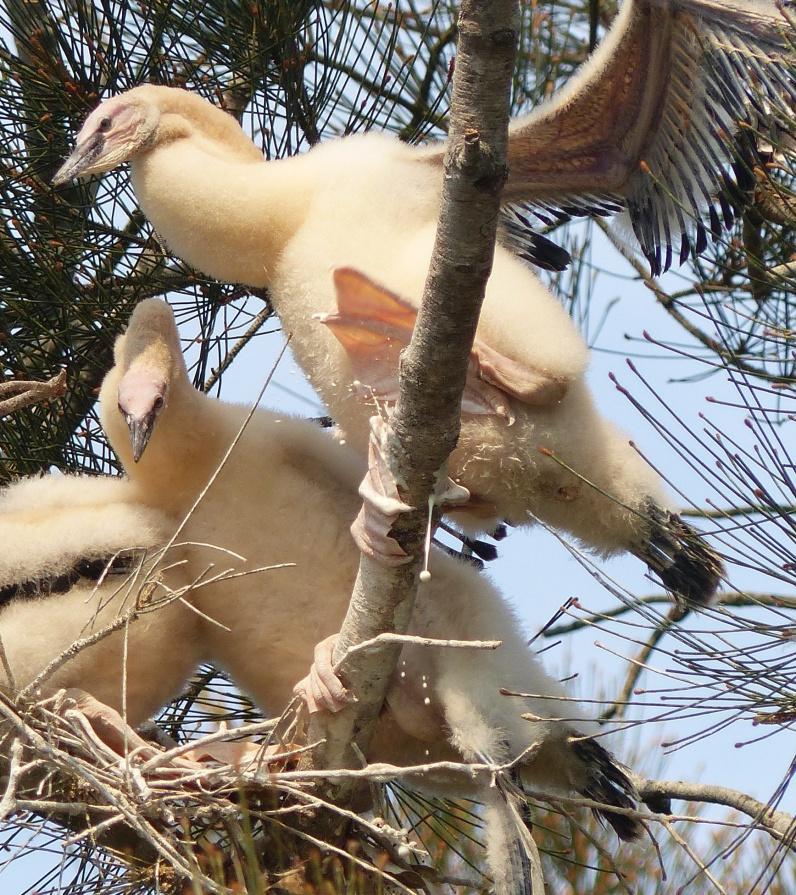 Juvenile darter expressing themself through the medium of guano