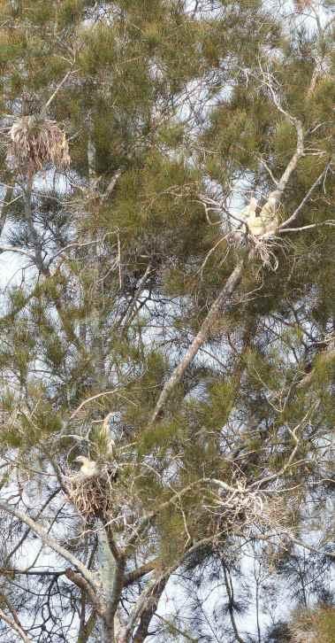 Casuarina with four waterbird nests
