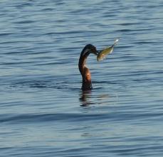 Darter skewering a fish