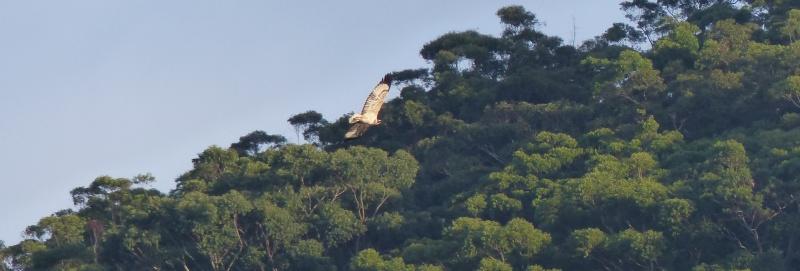 Juvenile sea eagle belly horizontal