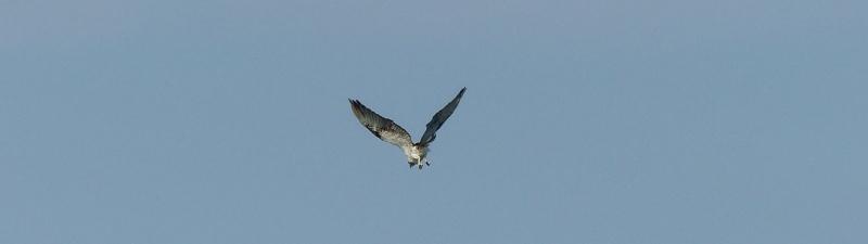 Osprey bum bigger long