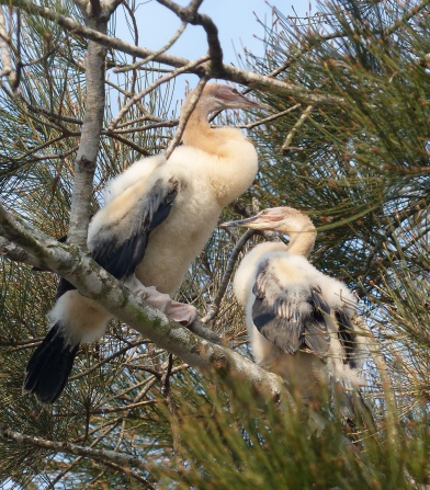 Partly fledged juvenile Australasian darters