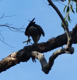 "Peregrine falcon ""macropus"" showing off its huge feet"