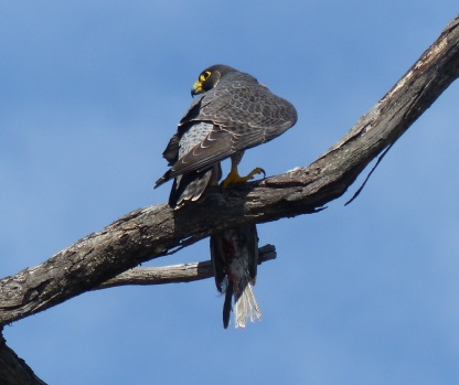 Peregrine gripping a dead galah and looking for rivals