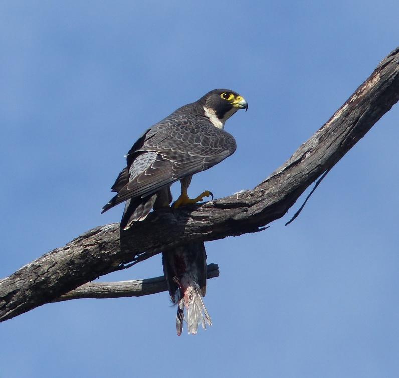 Peregrine falcon in profile with prey