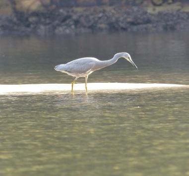 White-faced heron hunting at Yeoman's BAy