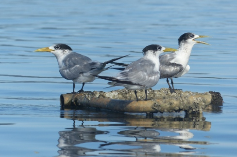 Crested terns sticking their tongues out at me.
