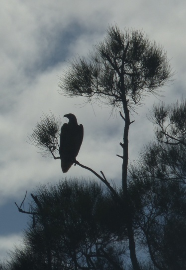 White bellied sea eagle in a river-side casuarina