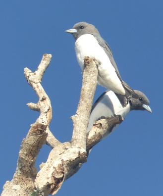 Woodswallows peeping