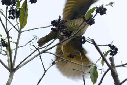 Satin bowerbird flying away