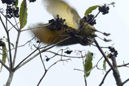 Satin bowerbird flying away 2
