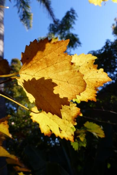 """""""Apollo"""" muscadino grape vine leaves"""