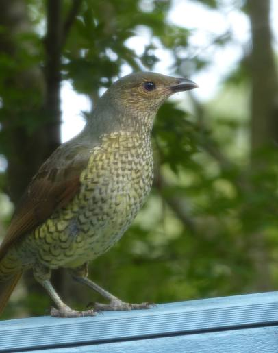 Female bowerbird on the look out for an attractive collection of nerf gun pellets