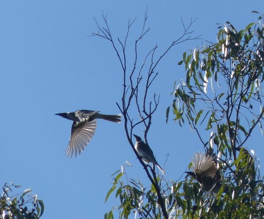 Noisy friarbirds on the move up the river