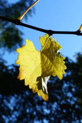 Yellowing grape leaf