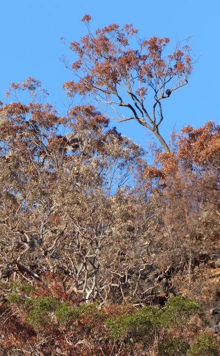 Scorched eucalypt canopy