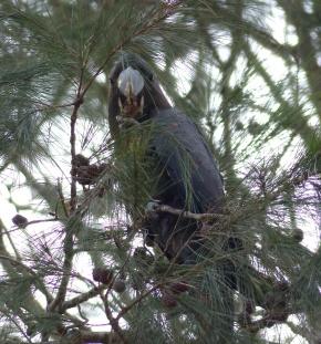 Glossy black-cockatoo eating casuarinas