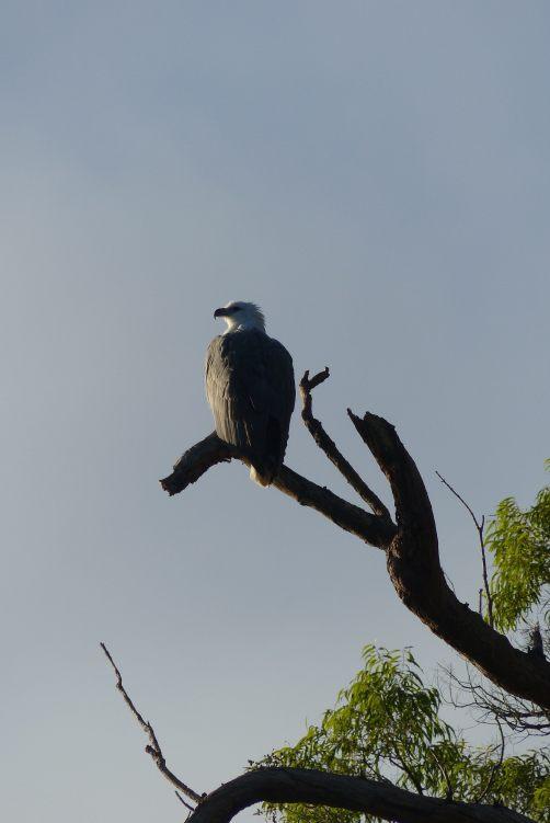 Sea-eagle basking in the morning sun