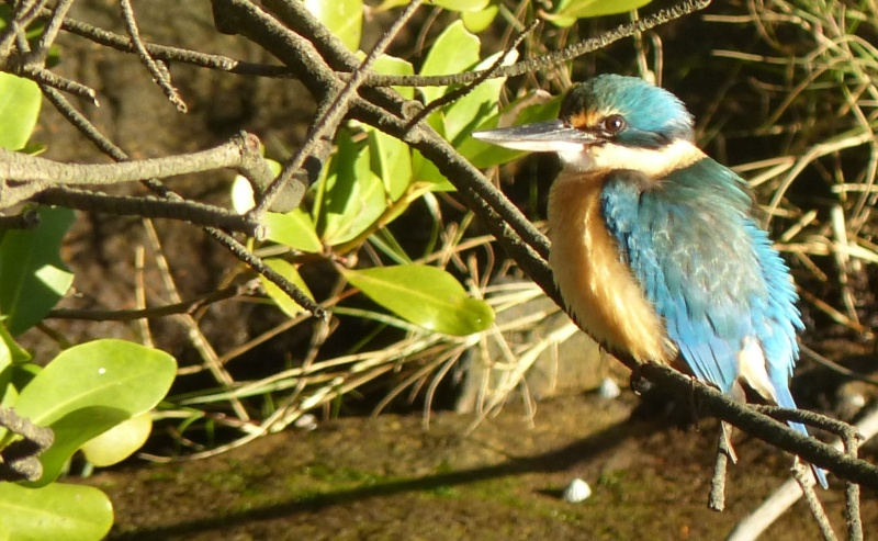 Sacred kingfisher other side 2 wide tighter