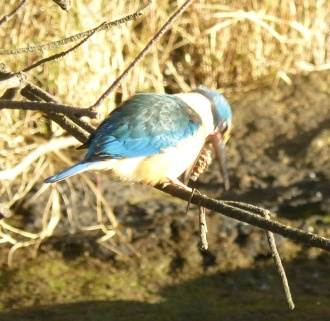 Sacred kingfisher regurgitating