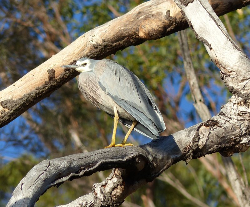 White faced heron in tree 2 square