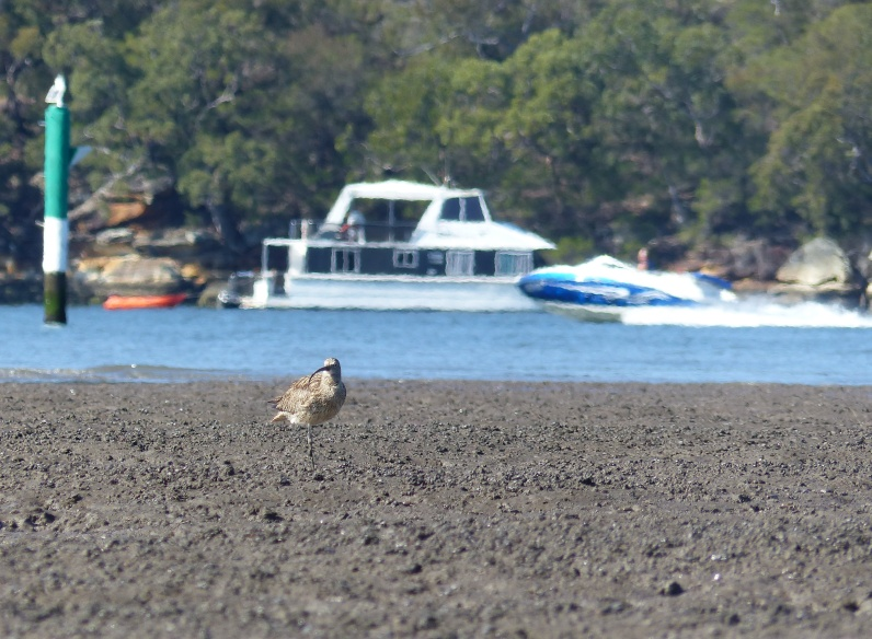 Not the quietest place to feed: curlew and powerboats
