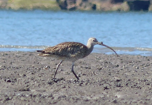 Mucky beaked curlew