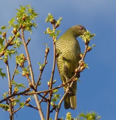 """Deranged looking """"green"""" bower bird"""