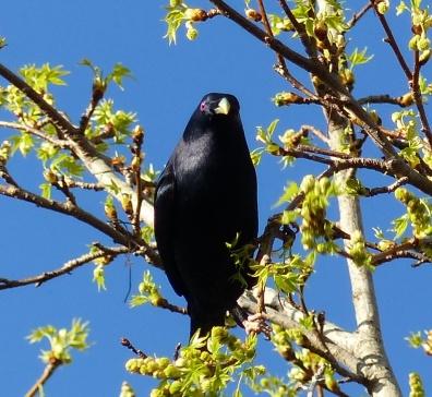 Mature male satin bowerbird
