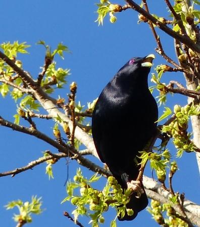 Male satin bowerbird chowing down on a liquidambar