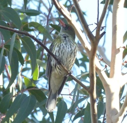 Recent arrival: olive backed oriole