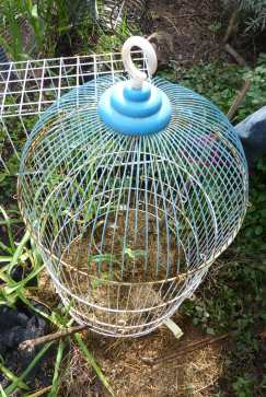 Another hopeful artichoke seedling in a cage