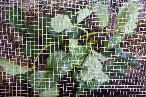 Oppressed strawberry plant