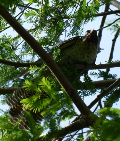 Female koel gearing up for action