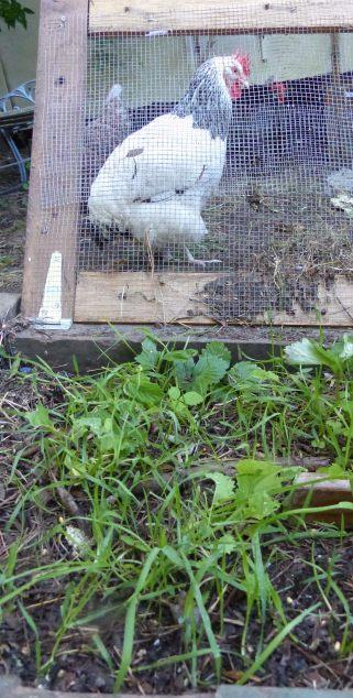 Treasure, post-illness, waiting for her rejuvenatin wheatgrass