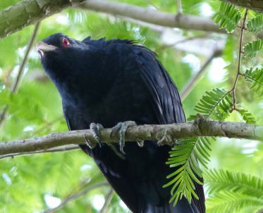 Quizzical look from a male koel