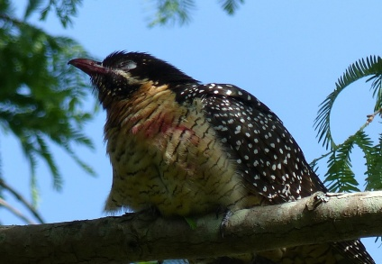 Weary and stained looking female koel