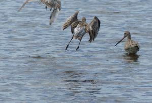 The barred tail of the bar tailed godwit