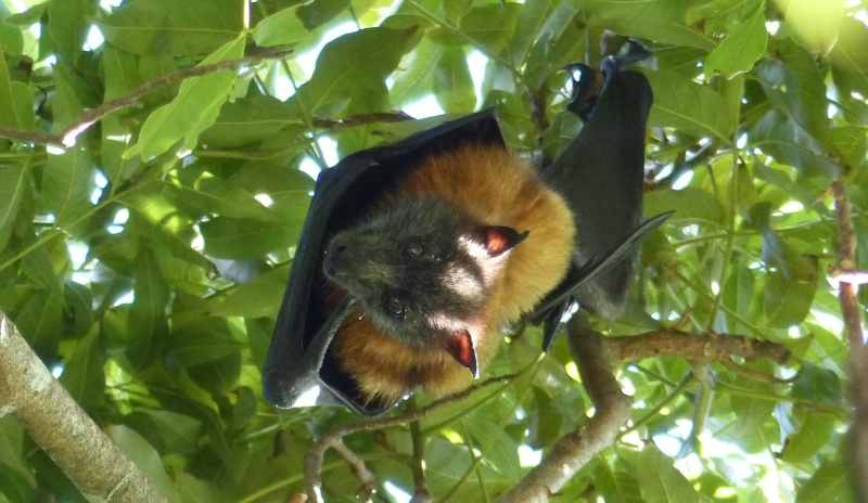 flying-fox-illuminated-ears-cropped
