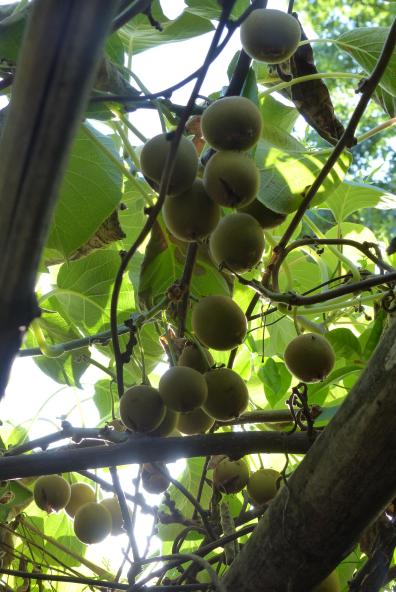 Kiwifruit - will the bees take over from me a chief pollinator?