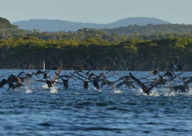 Pied cormorants preferring a private party